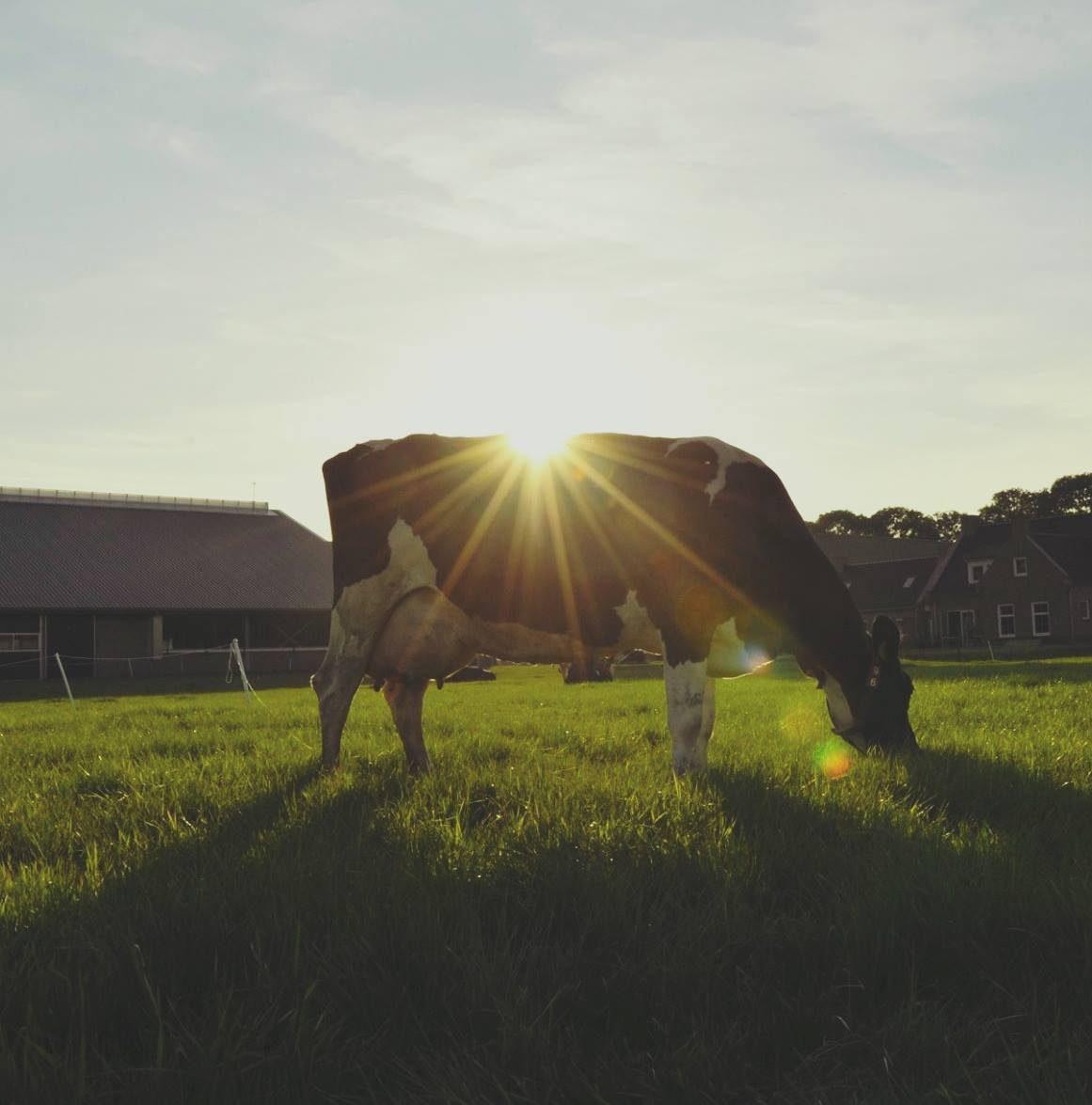 Koe buiten – Grazeway